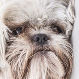 Cute hairy puppy close up face portrait Stock Photography