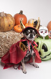 Cute Halloween Devil Dog. Cute chihuahua dressed in devil costume for halloween Stock Photos
