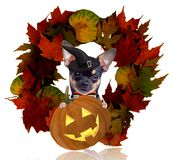 Cute halloween dog chihuahua look from the autumn wreath royalty free stock image