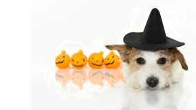 CUTE HALLOWEEN DOG WITCH OR WIZARD HAT COSTUME LYING DOWN AND P royalty free stock images