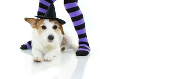 CUTE HALLOWEEN DOG WITCH OR WIZARD HAT LYING DOWN AND PURPLE AND royalty free stock image