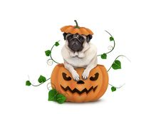 Cute Halloween pug puppy dog sitting in carved pumpkin with scary face royalty free stock images