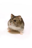 Cute hamster. Little brown hamster looking cute on a white background stock photos
