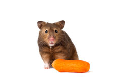 Cute hamster with carrot  isolated white. Close up shot of a hamster on white background Royalty Free Stock Images