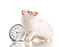 Cute hamster and clock Royalty Free Stock Photography