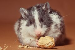 Cute hamster eating a peanut Stock Photography