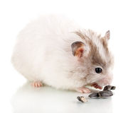 Cute hamster eating sunflower seeds Royalty Free Stock Photo