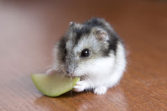 Cute hamster eats apple Royalty Free Stock Images