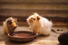 Cute hamster. Fluffy hamster drink some water Stock Photo