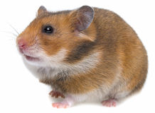 A cute hamster Stock Image