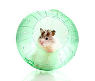 Cute hamster popping out of green ball. On white Stock Photos