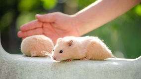 A cute hamster in safe hands Royalty Free Stock Photos