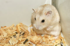 Cute hamster in sawdust wooden house Stock Photography