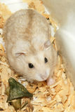 Cute hamster in sawdust wooden house Royalty Free Stock Photography