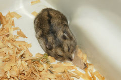Cute hamster in sawdust wooden house Stock Image
