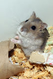 Cute hamster in sawdust wooden house Royalty Free Stock Photo