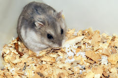 Cute hamster in sawdust wooden house Royalty Free Stock Image