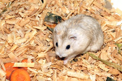 Cute hamster in sawdust wooden house Royalty Free Stock Images