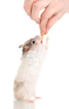 Cute hamster standing Stock Images