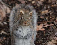WHAT ARE YOU LOOKING AT ?SQUIRREL stock photos