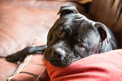 Cute handsome staffordshire bull terrier dog lying on a sofa Stock Images