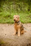 Cute happy Airedale Terrier portrait in summer forest. portrait photography of a dog - rare breed airedale terrier. Cute happy Airedale Terrier portrait in Stock Photos