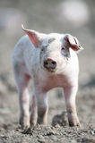 Cute happy baby pig. With ear tag stock images