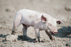 Cute happy baby pig Stock Photo