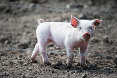 Cute happy baby pig. With ear tag stock photo