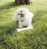 Cute, happy, Bichon Frise dog with clean white fur playing with chew toy bone outdoors on grass lawn