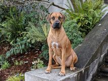 Cute happy big dog sitting on stone staircase looking at camera with plants in the background royalty free stock photo