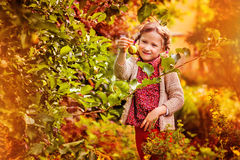 Cute happy child girl picking apples from tree in autumn garden Royalty Free Stock Photography