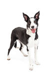 Cute and Happy Collie Crossbreed Dog Standing Royalty Free Stock Image