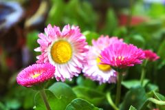 Pink flower daisies Bellis perennis flowers in the garden, Cute happy daisy hybrid. Cute happy daisy hybrid pink flower daisies Bellis perennis flowers in the stock photos