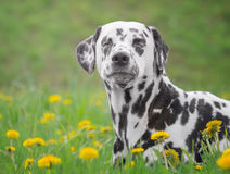 Cute happy dalmatian dog puppy laying on fresh summer grass Royalty Free Stock Photography