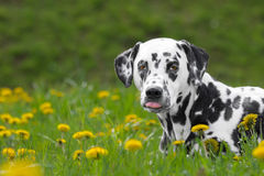 Cute happy dalmatian dog puppy laying on fresh summer grass Royalty Free Stock Images