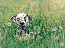 Cute happy dalmatian dog puppy laying on fresh summer grass Stock Image