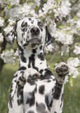 Cute happy dalmatian dog puppy sitting near the summer tree Stock Photos