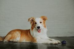 Cute happy dog border collie makes a funny pose and sticks his tongue and bring flowers royalty free stock photos