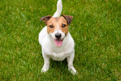 Cute happy dog looking into camera. Jack Russell Terrier on  green grass Stock Image
