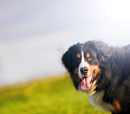 Cute happy dog portait. Bernese mountain dog Royalty Free Stock Images