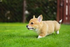 Cute happy full of energy welsh corgi pembroke puppy playing running on a green grass in the garden royalty free stock images