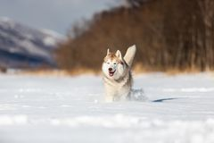 Cute, happy and funny beige and white dog breed siberian husky running on the snow in the winter field. Portrait of Cute, happy and funny beige and white dog royalty free stock image