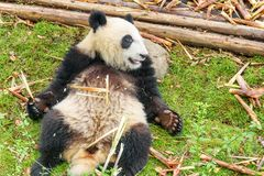 Cute happy giant panda holding bamboo. Funny panda bear. Resting on green grass after breakfast. Amazing wild animal royalty free stock image