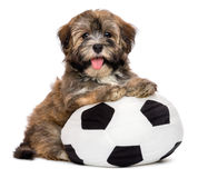 Cute happy havanese puppy dog playing with a soccer ball toy. Cute happy havanese puppy dog is playing with a soccer ball toy and looking at the camera, isolated stock photos