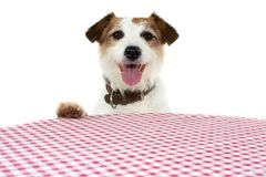CUTE AND HAPPY JACK RUSSELL DOG BEGGING FOOD AT THE TABLE A WITH RED AND WHITE CHECKERED TABLECLOTH stock photo