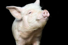 Cute happy little pig isolated on black Royalty Free Stock Image