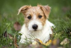 Cute happy pet dog puppy lying in the grass royalty free stock photo