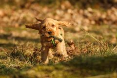 Cute happy puppy of golden cocker spaniel royalty free stock images