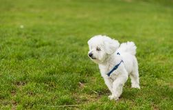 A cute, happy puppy running on green summer grass. A cute, fluffy, happy puppy running on vibrant green grass in the summer time royalty free stock photography